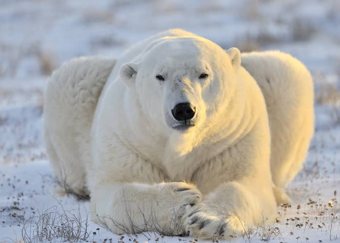 Faune du Canada : ours blanc