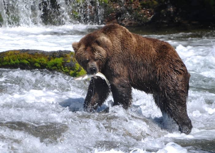 Faune du Canada : le grizzly